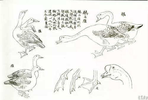 鹅的画法步骤